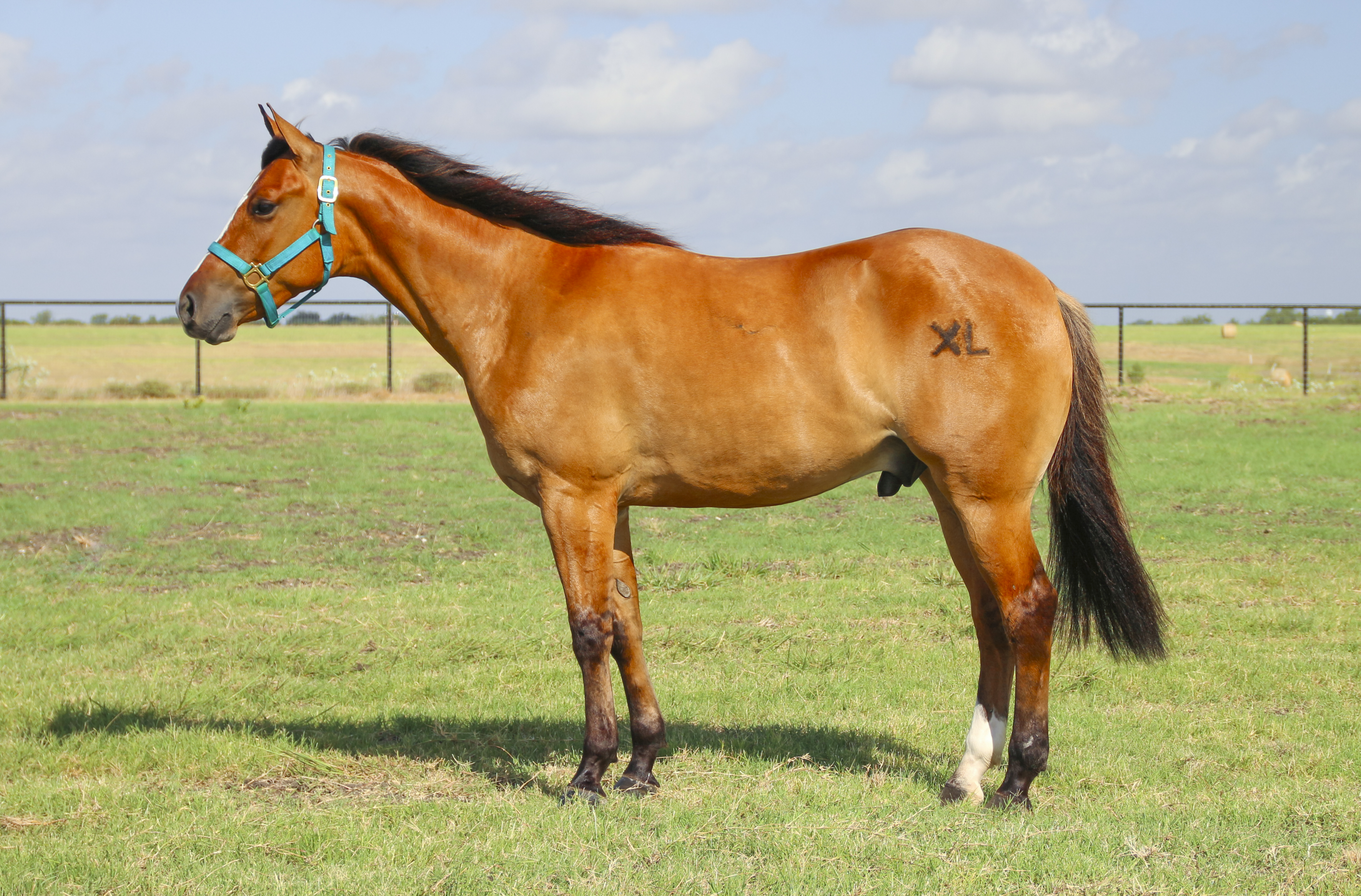 american-quarter-horse-breed
