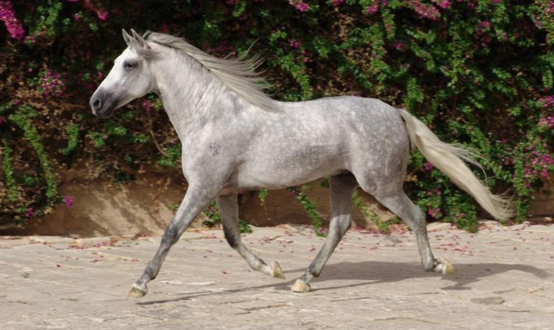andalusian-horse-origin