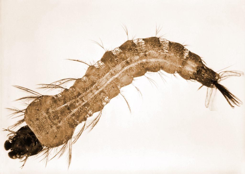 mosquito-larva