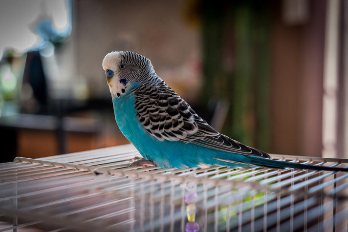 Budgies Or Parkaeets