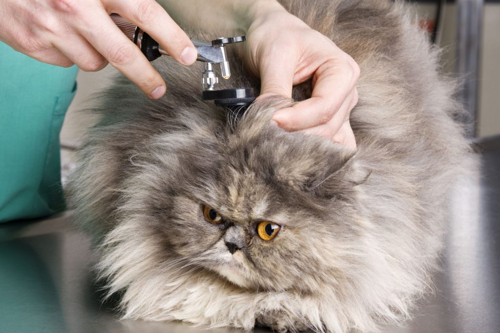 Cat Ear Discharge treatment