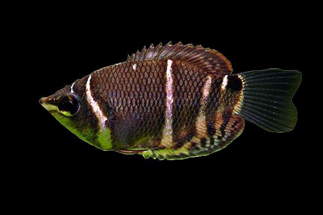 Chocolate-Gourami-fish