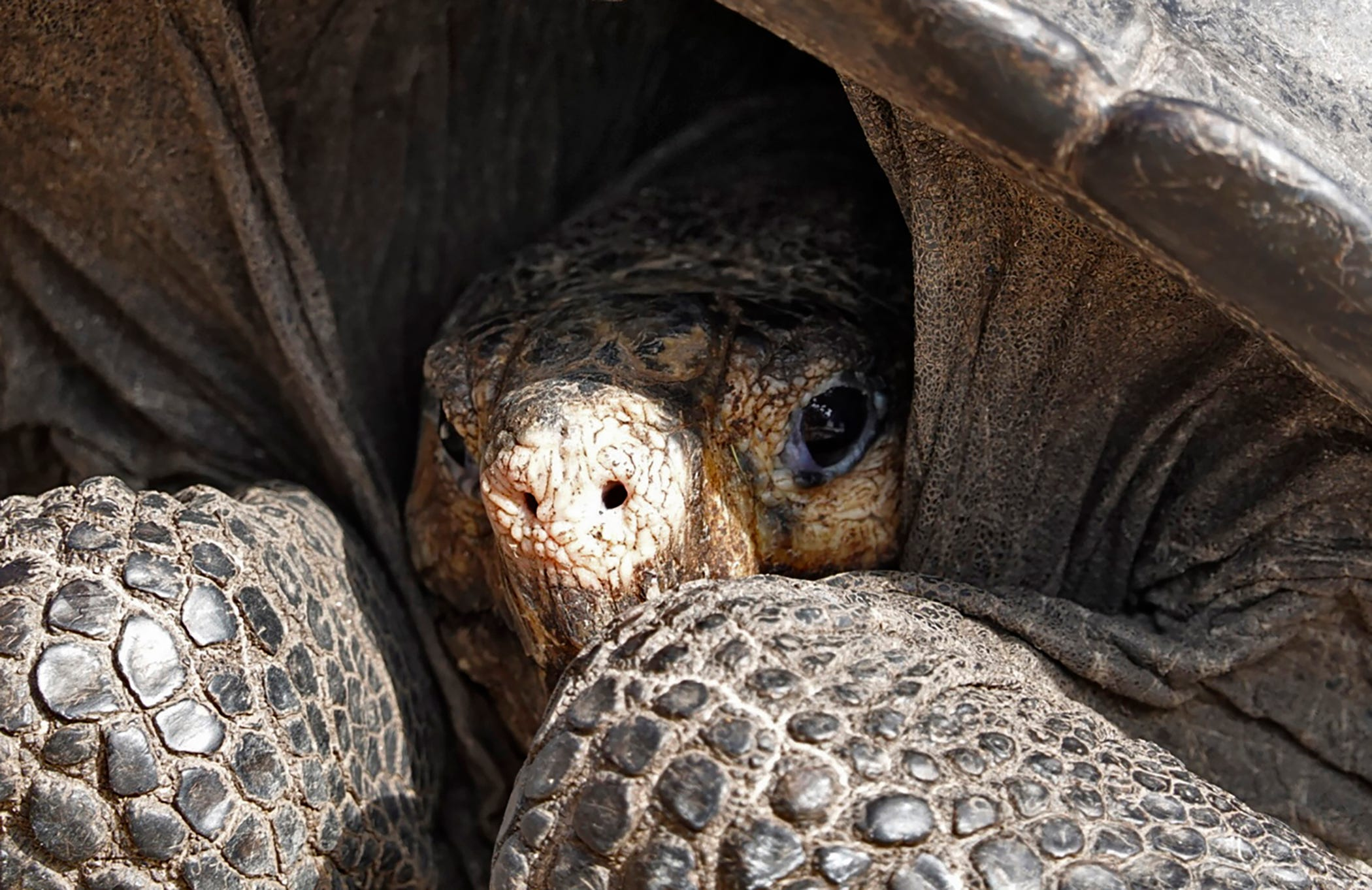 Conservation-Galapagos-tortoise