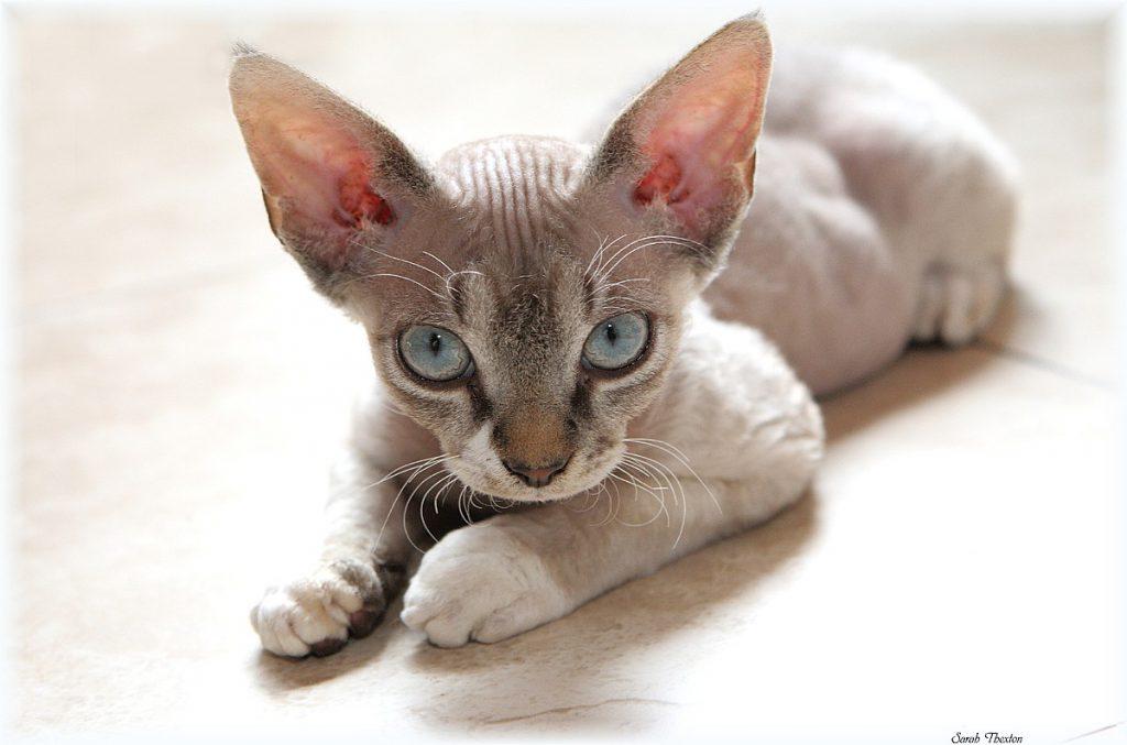 Devon-Rex-cat-temprament