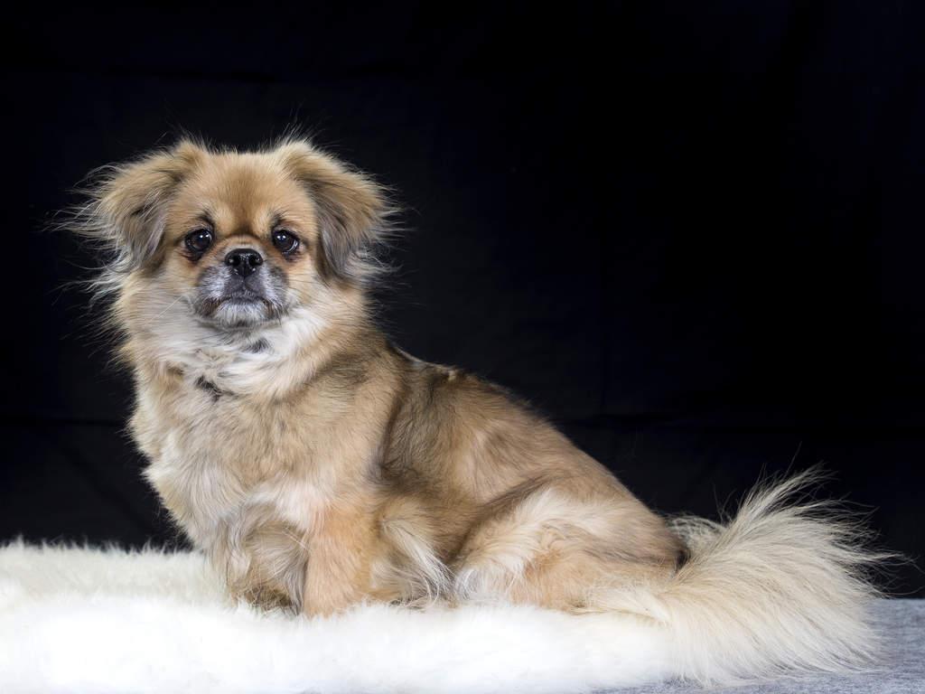 Dog_Tibetan_Spaniel_Health