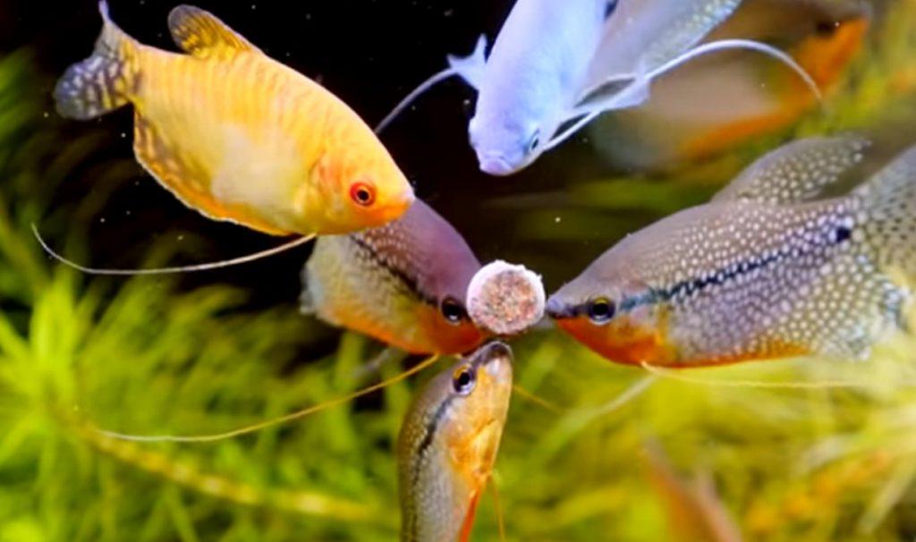 fish-feeding