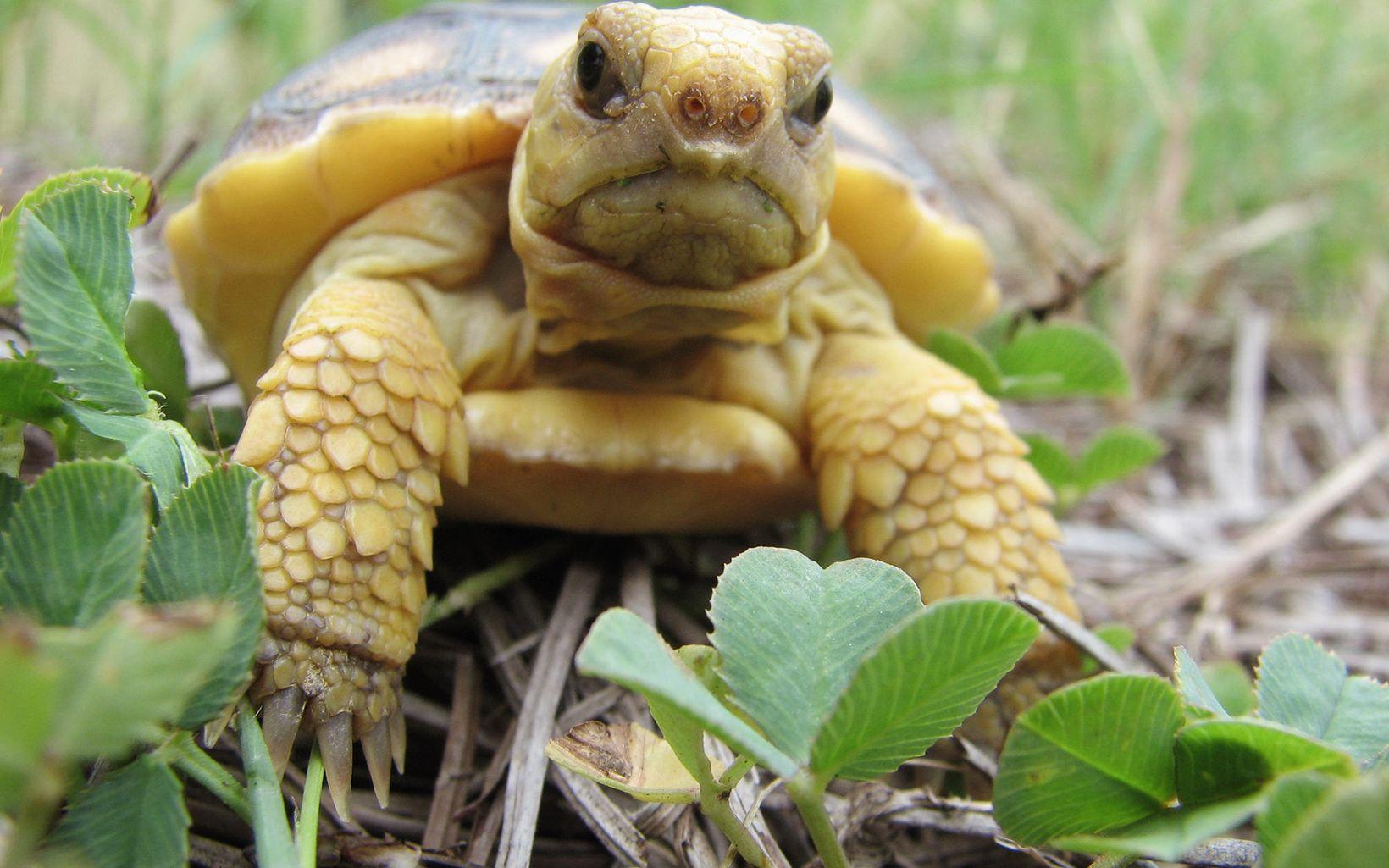 Florida-Gopher-Tortoise