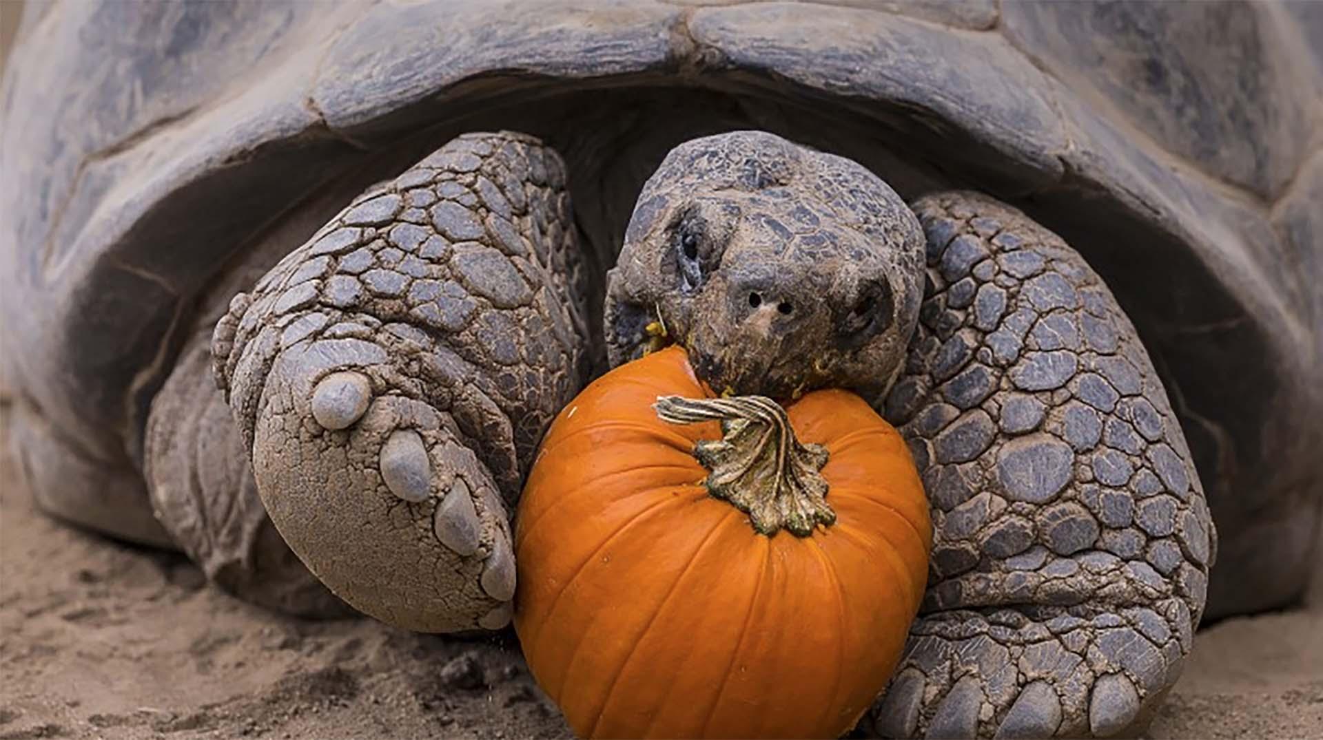 Galapagos-Tortoise-food
