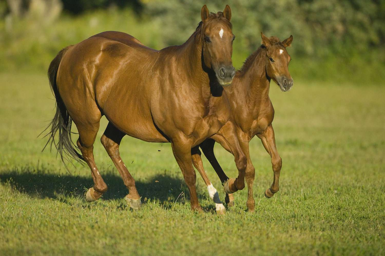 American Quarter Horse(Origin, Characteristics & More 2020)