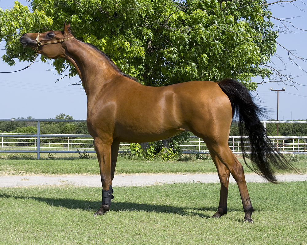 Arabian horse origin