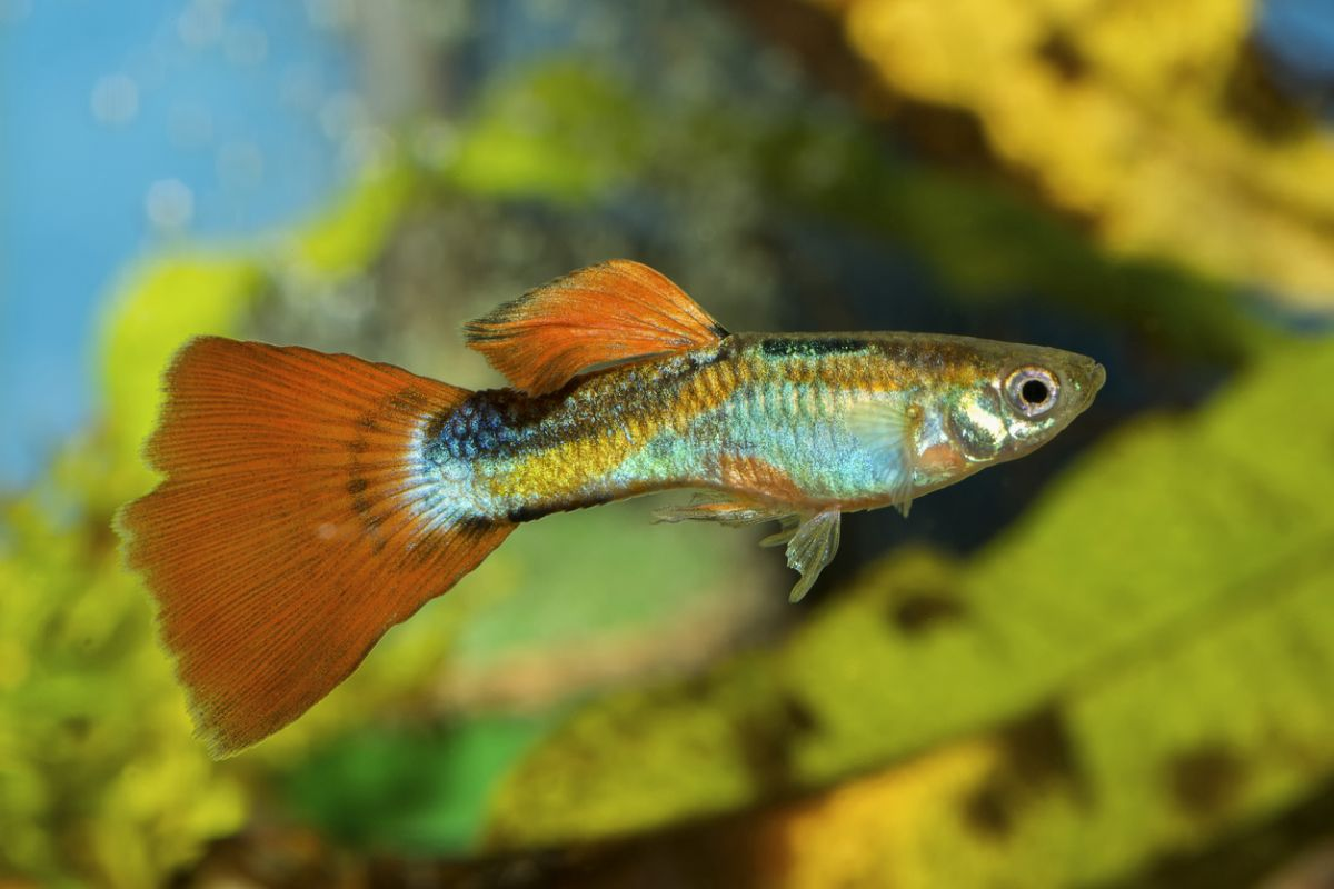 guppy fish tank