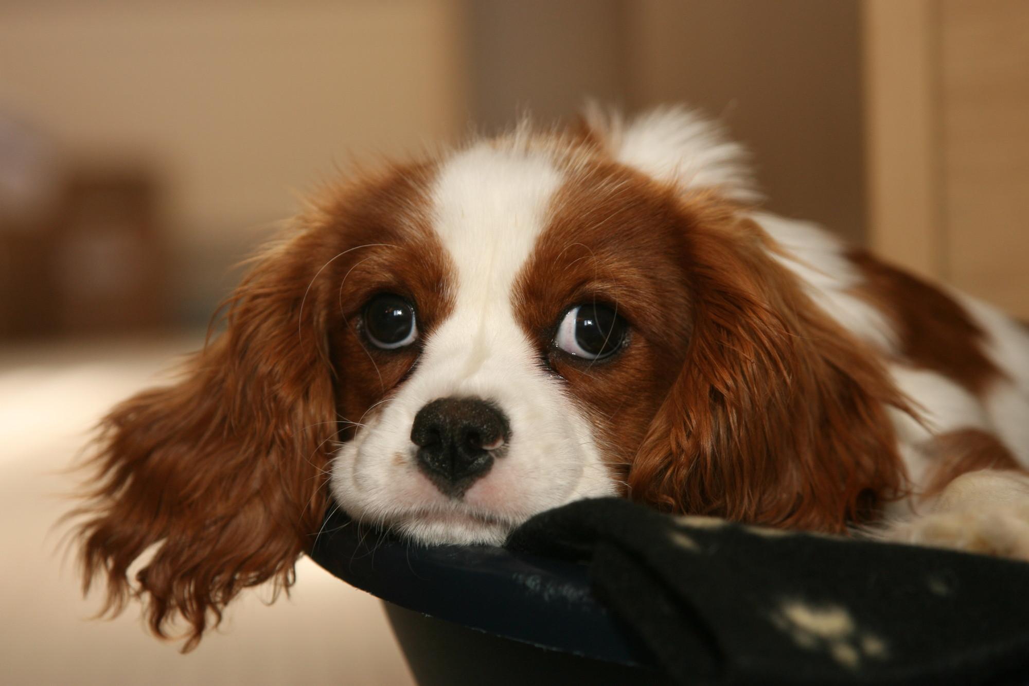 Seizures-In-Dog