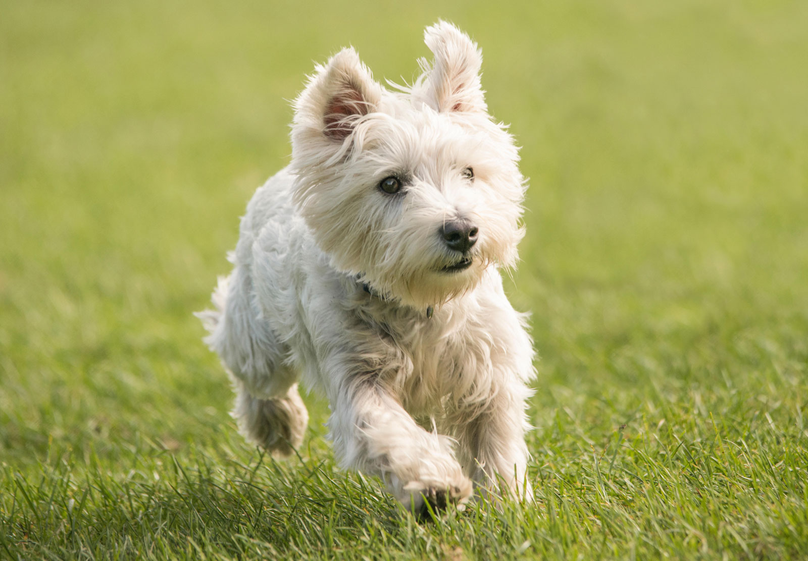 West-Highland-White-Terrier-health