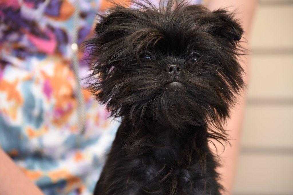 affenpinscher-puppies