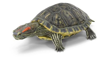 Red-Eared-Turtle