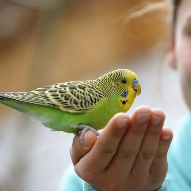 best-pet-birds