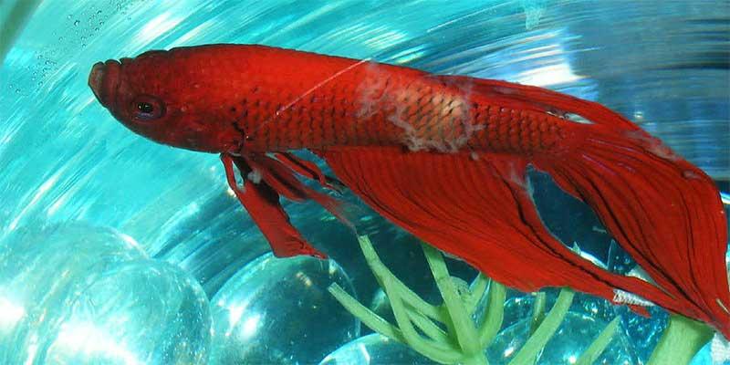 Betta- Fish- Facts