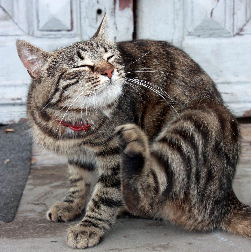cat fleas treatments