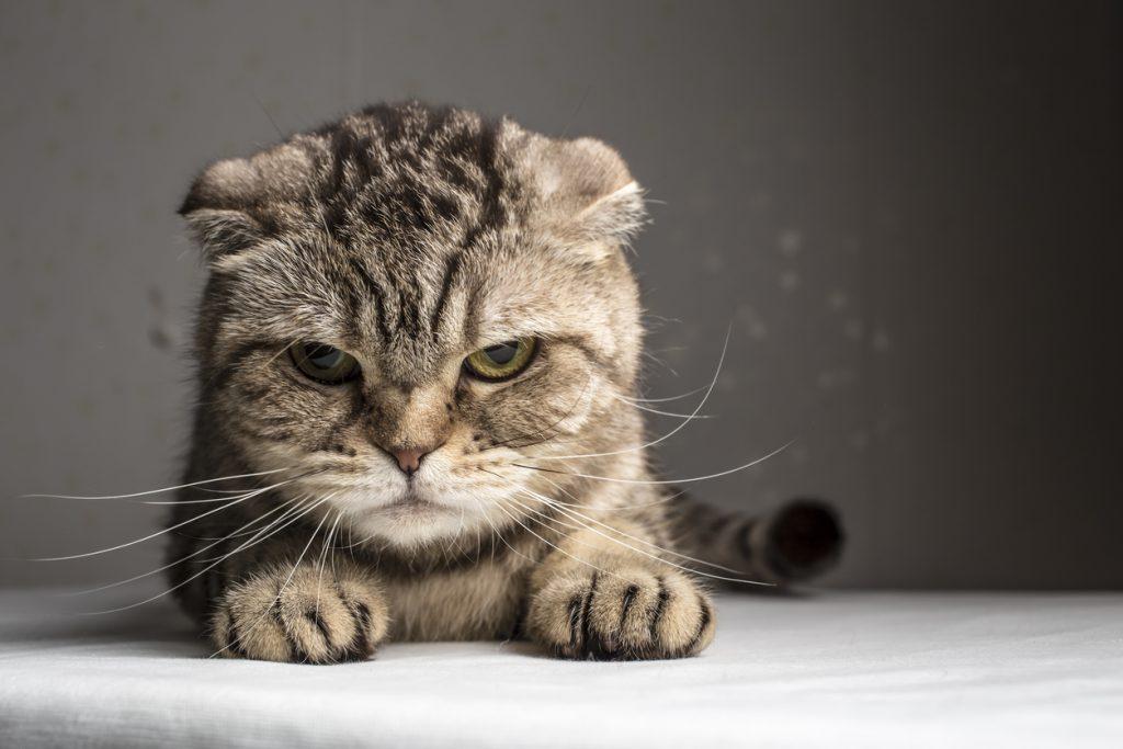 cat-head-injury-precaution