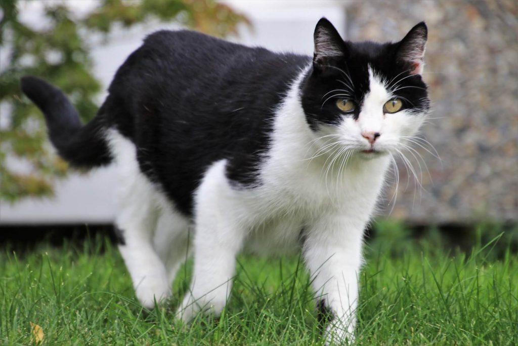 cat-lameness-information