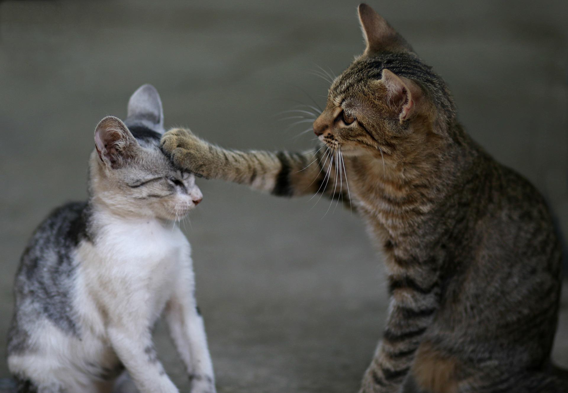 cat-leukemia-forms