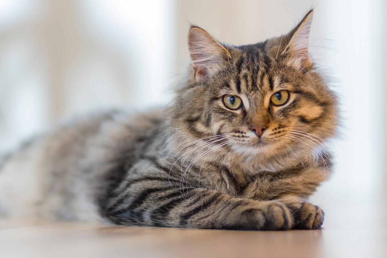 Cat-leukemia-treatment