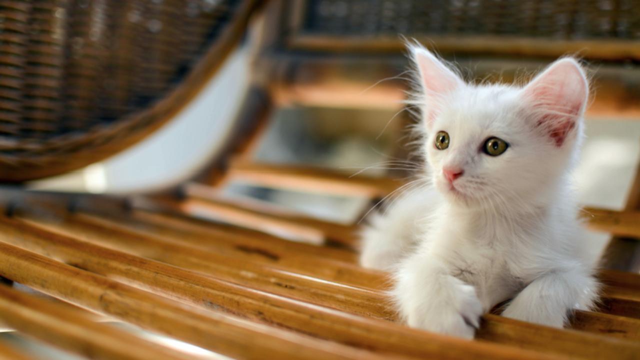 cat-leukemia