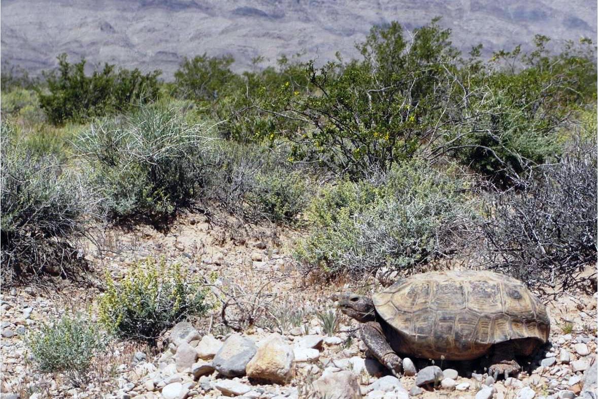 desert-tortoise-hibernation