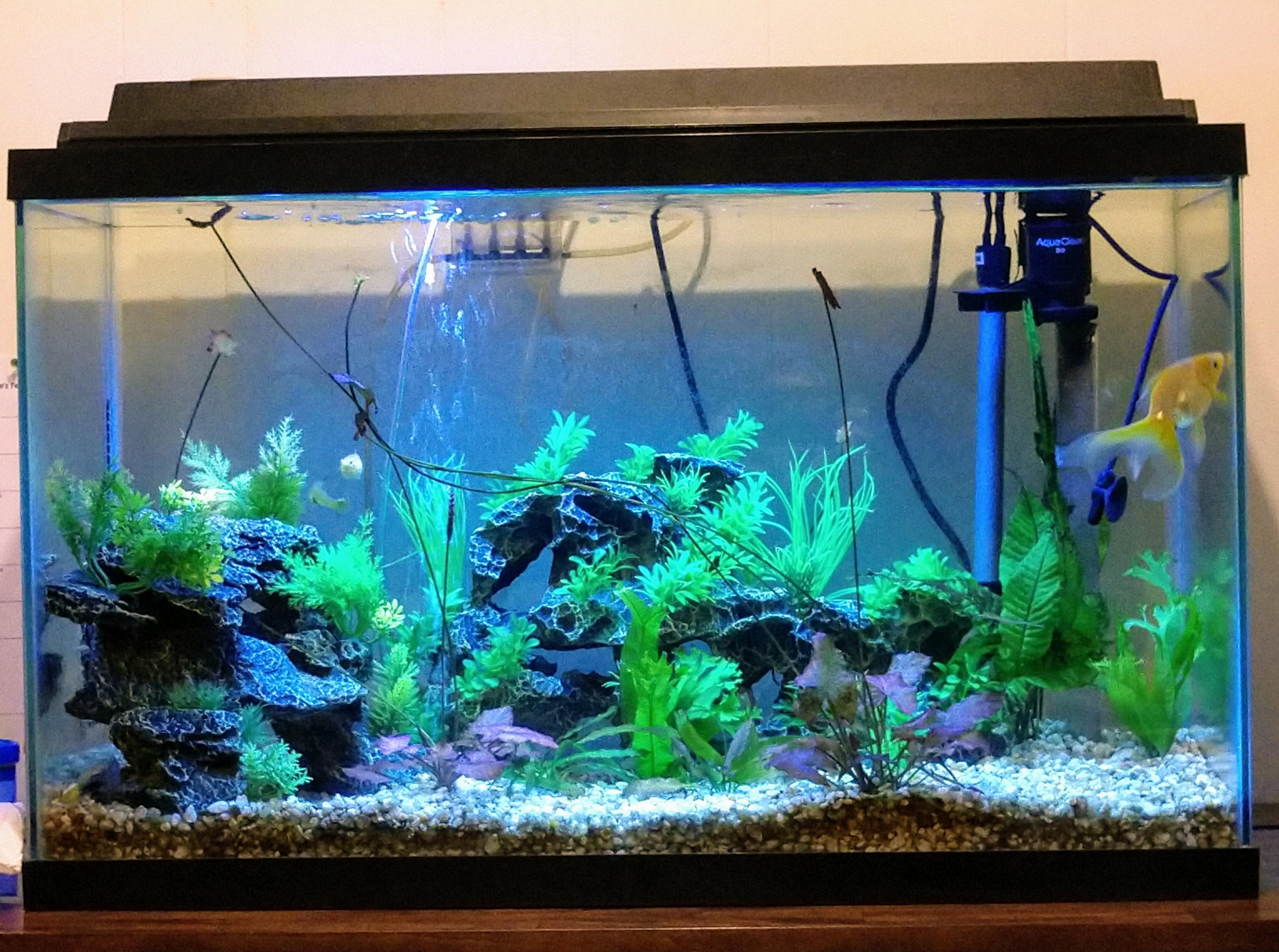 Guppy-Fish-Tank