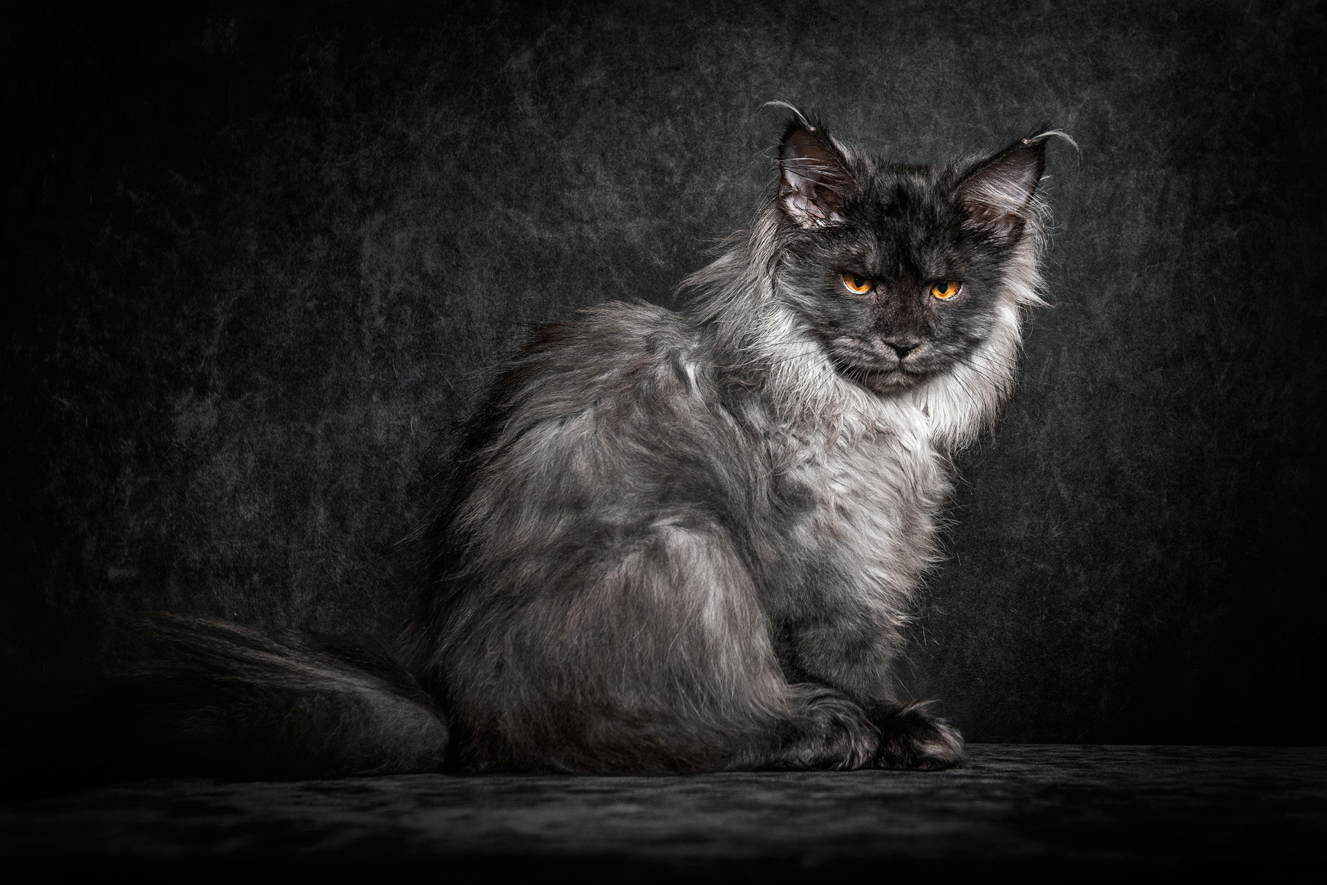 maine-coon-cat