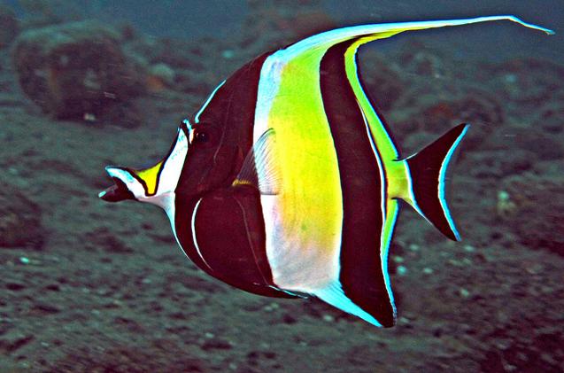 moorish- idol- fish