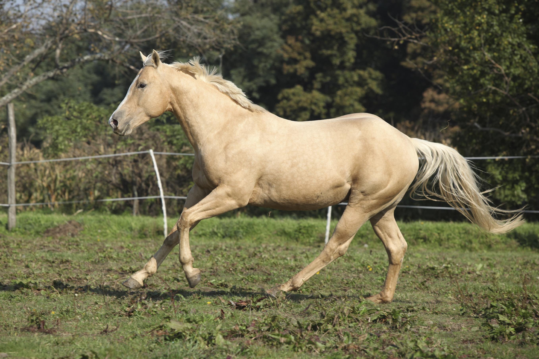 palomino-horse-character