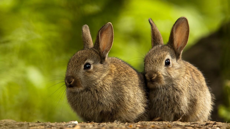 rabbit-breeding