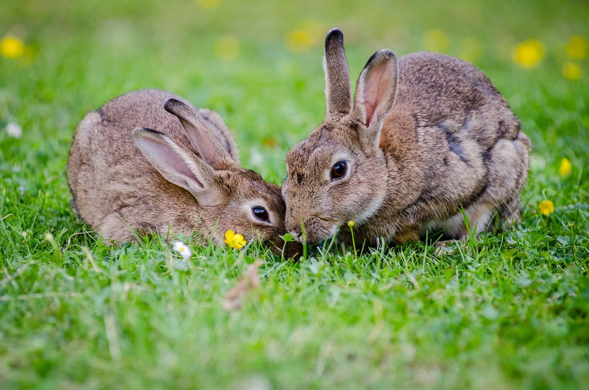 rabbits-coprophagy