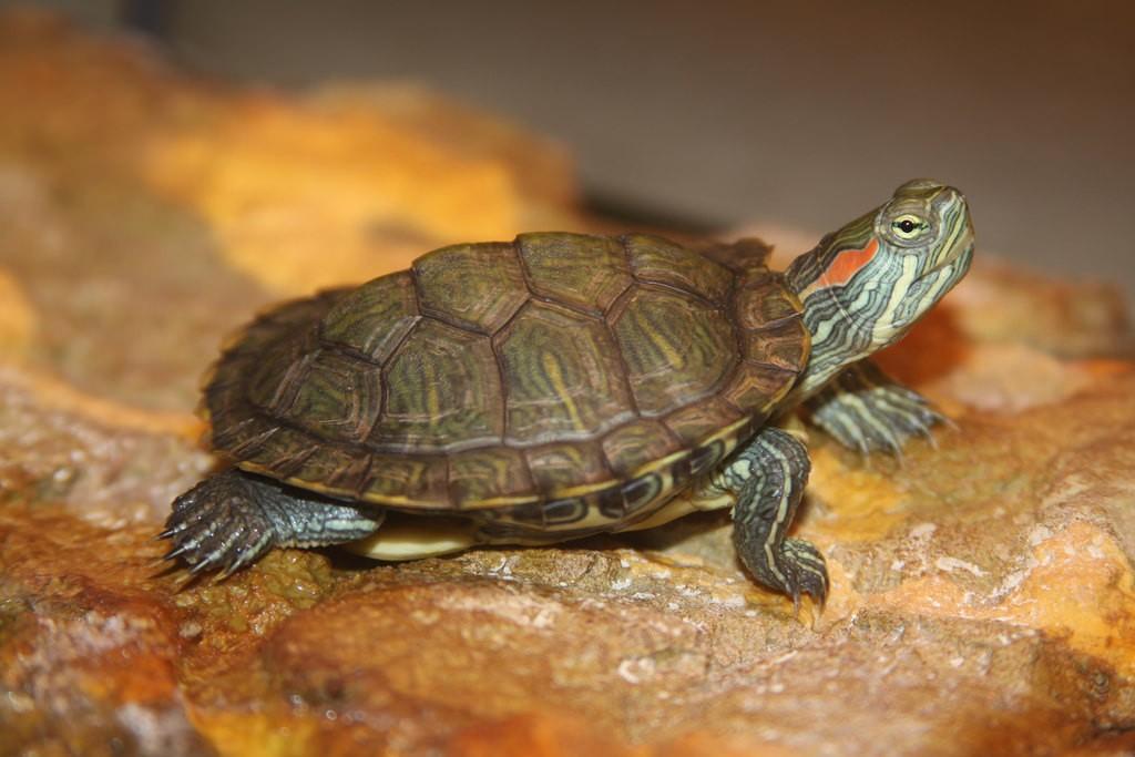 slider-turtle