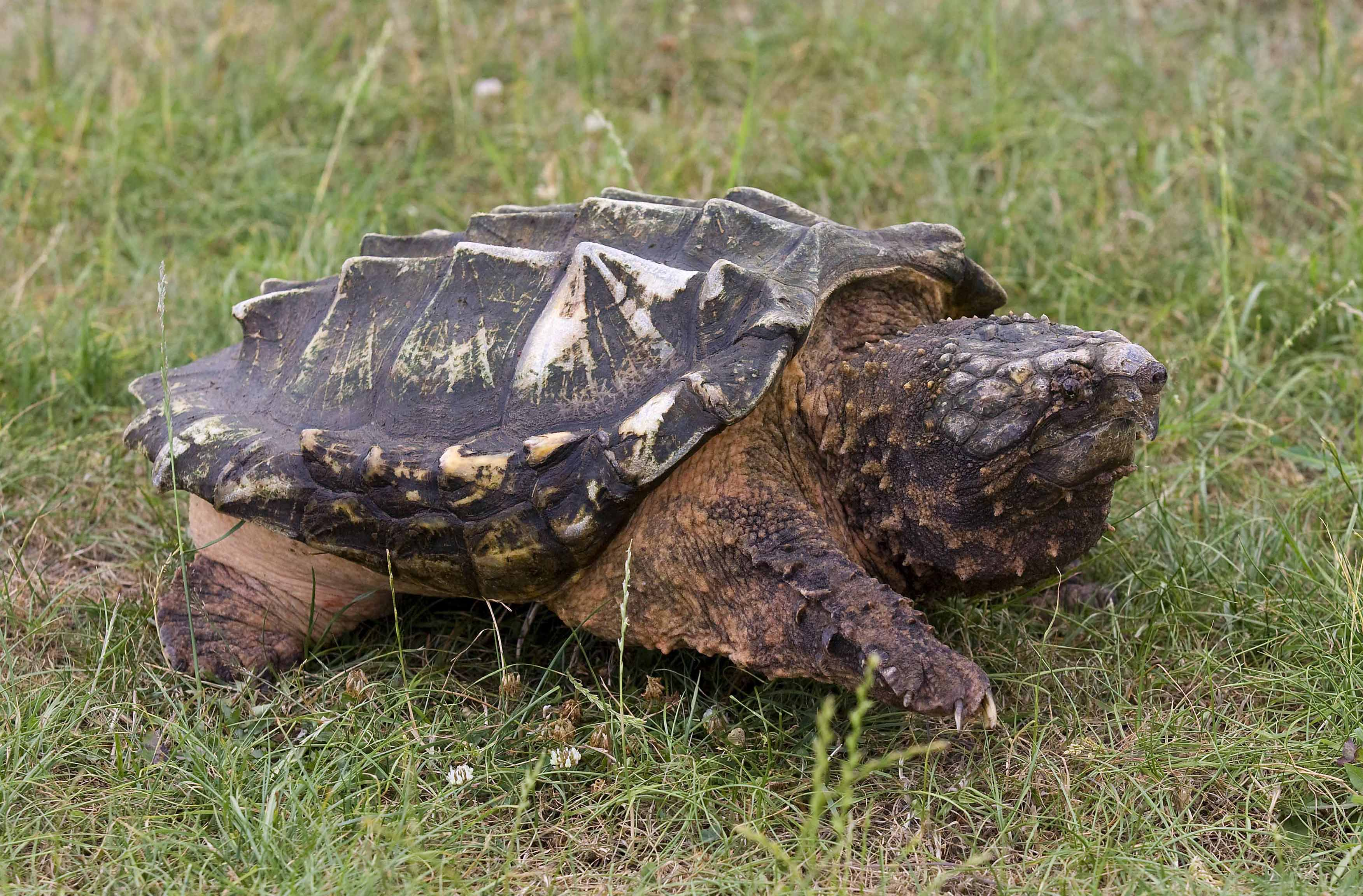 snapping-turtles-information