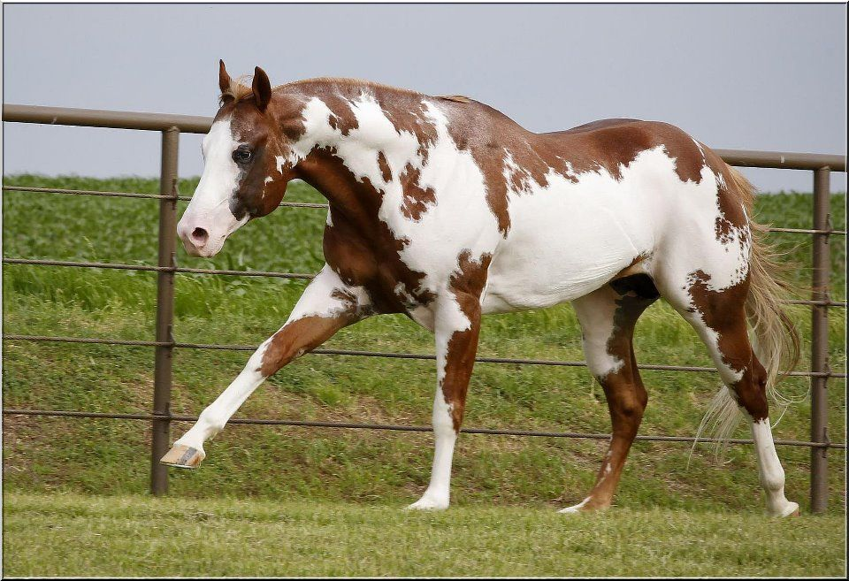 tiger-horse-colour